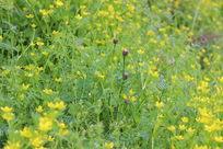 满地金黄色的小黄花