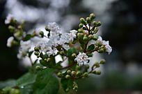 痒痒树开出的白色花