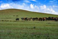 草原山坡处的蒙古马