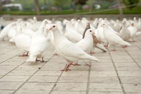 广场上的白鸽高清拍摄