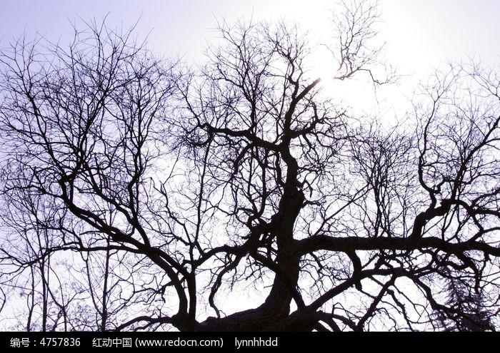 古树剪影图片,高清大图_树木枝叶素材