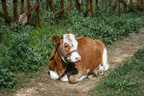 静静的花牛