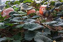 科技种植硕大的南瓜