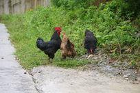 毛毛雨中的土鸡