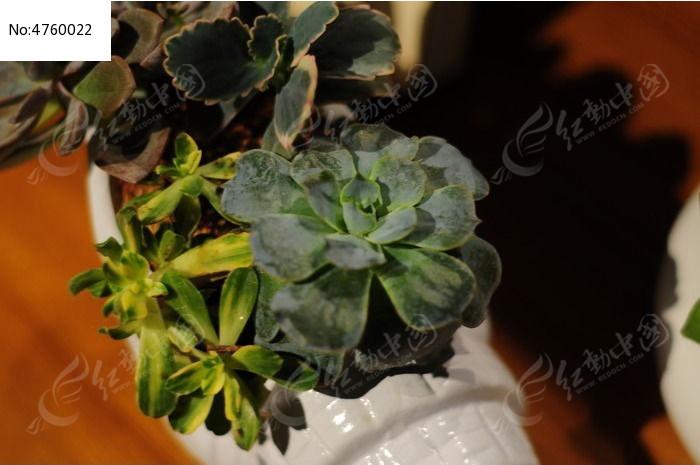 盆栽多肉植物图片,高清大图