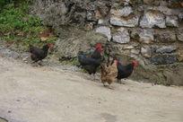 墙角下的土鸡
