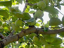 树上的青柿子