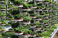 无土栽培技术种植的蔬菜