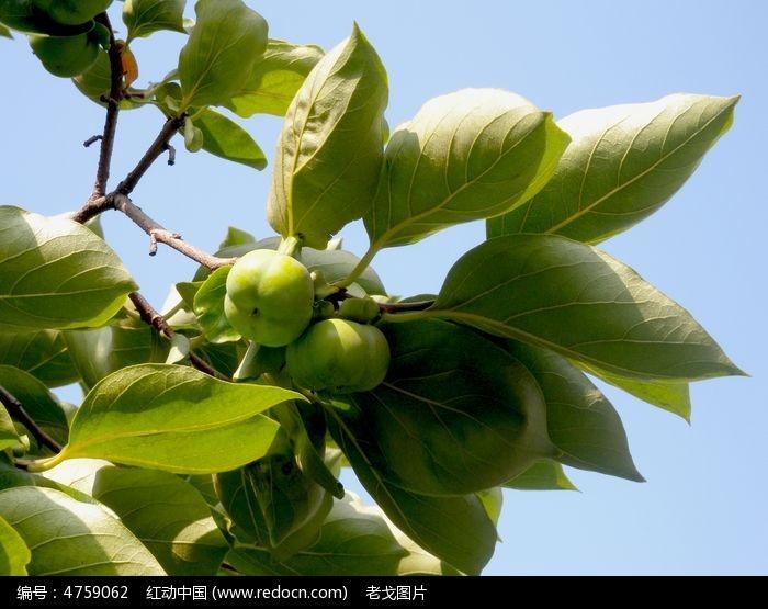 阳光下的青柿子图片