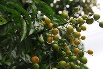 一串挂在枝头的黄皮果