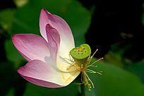 凋残的粉色荷花花蕊高质感大图