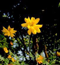 高清黄色向阳花