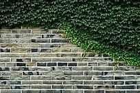 高清拍摄绿色滕曼植物爬墙虎覆盖的砖墙