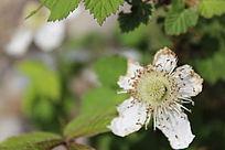 花瓣残缺的白色花朵