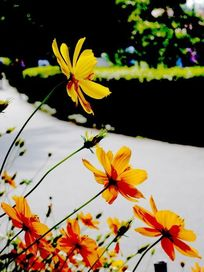 黄色向阳花近摄