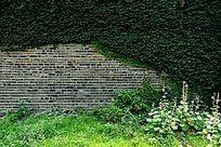 绿色植物爬山虎覆盖的城墙砖墙背景素材