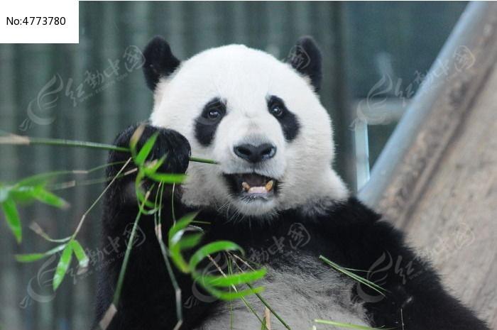 吃竹子的熊猫图片,高清大图