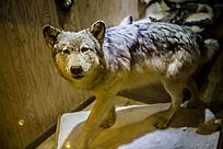 大灰狼标本