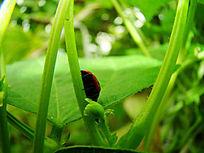 爬绿枝的七星瓢虫