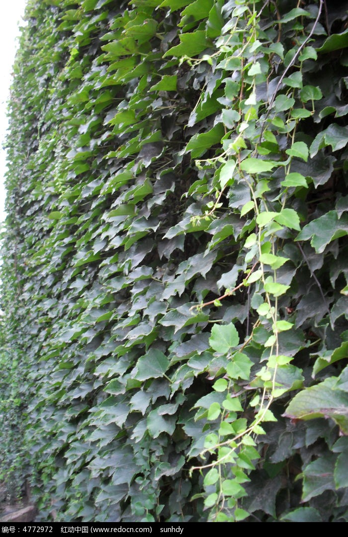 原创摄影图 动物植物 花卉花草 爬满墙的爬山虎  请您分享: 素材描述