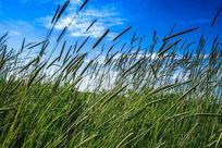 轻舞的牧草