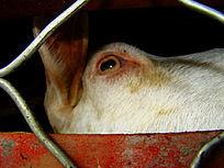 铁窗里羊的眼睛