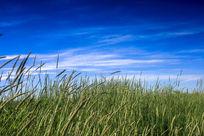 微风中的牧草