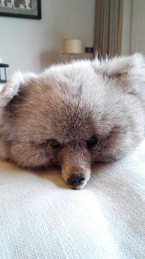 卧室狐狸皮摆件