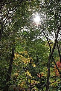 阳光射进枫叶林摄影图片