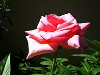 安静开放的花朵