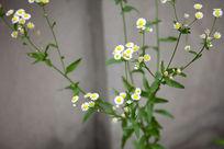 白色小菊花