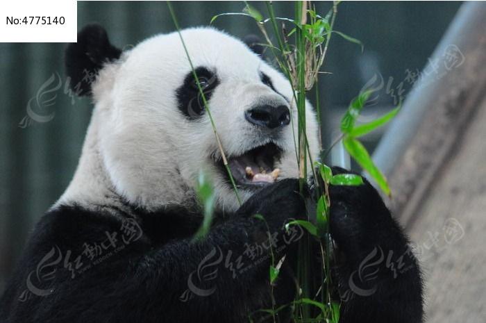 吃竹子的萌呆呆熊猫图片,高清大图_陆地动物素材