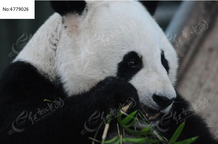 吃竹子的熊猫特写图片,高清大图_陆地动物素材