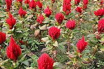 公园中红色的花朵摄影图片