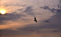 黄昏下天空中飞翔的鸟
