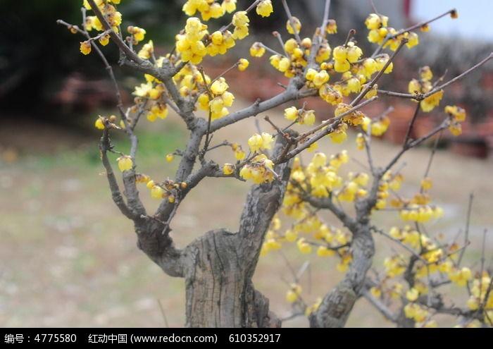 黄色梅花树图片
