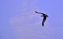 蓝天下空中的飞鸟
