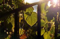 逆光下的植物叶片