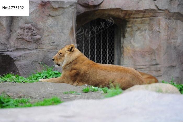 睡觉的母狮子图片