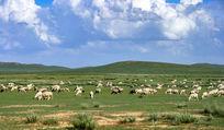 贪婪吃草的羊群