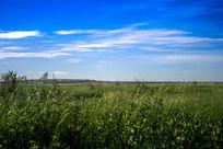 旺盛的牧草