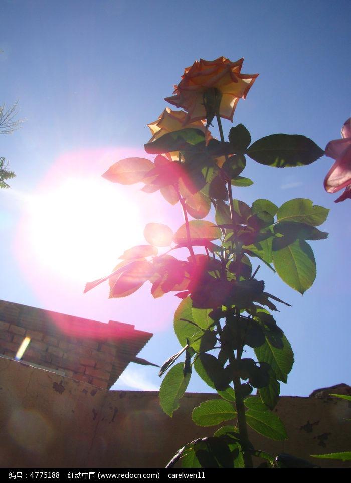 原创摄影图 动物植物 花卉花草 阳光里的花朵