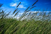 摇曳的高原草