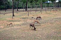 野生动物园的跳羚