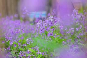 一大片紫色四瓣花