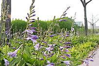 一片即将盛开的紫色喇叭花