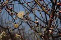 早春的梅花