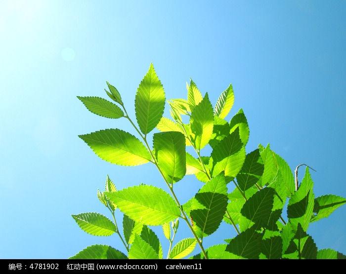 原创摄影图 动物植物 花卉花草 被阳光照的嫩绿的叶子
