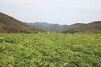 豆苗地与一望无际的高原山岭