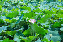 荷塘荷花盛开夏日自然清新美丽